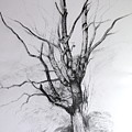 Study Of A Tree by Harry Robertson