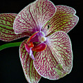 Study Of An Orchid 2 by Karin Everhart