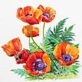 Study Of Poppies by Glenn Boyles