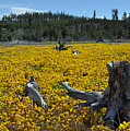 Stumped In A Sea Of Yellow Flowers by Bruce Gourley