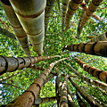 Stunning Bamboo Forest - Color by Carlos Alkmin