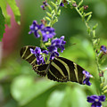 Stunning Black And White Zebra Butterfly In The Spring by DejaVu Designs