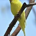 Stunning Little Yellow Budgie Parakeet In Nature by DejaVu Designs