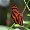 Stunning Oak Tiger Butterfly Resting On Flowers by DejaVu Designs