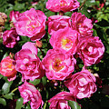 Stunning Pink Roses by Carol Groenen