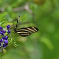 Stunning Shot Of A Zebra Butterfly On A Flower by DejaVu Designs
