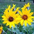 Stunning Wild Sunflowers by Will Borden