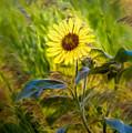 Stylized Sunflower by Rikk Flohr
