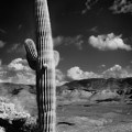 Suaro Cactus Tonto Monument Arizona by Bob Coates