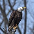 Subadult Bald Eagle Drb0253 by Gerry Gantt
