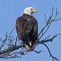 Subadult Bald Eagle Drb0254 by Gerry Gantt