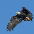 Subadult Bald Eagle With A Fish Drb0231 by Gerry Gantt