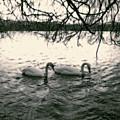 Subtle Swans  by Julia Raddatz
