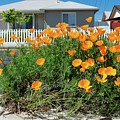 Suburban House On Orchard Avenue With Poppies Hayward California 3 by Kathy Anselmo