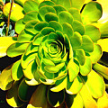 Succulent Close Up by Barbara Snyder