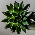 Succulent by Fae Scalmazzi
