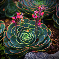 Succulent Flowers by Mike Penney