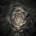 Succulent I Toned by David Gordon