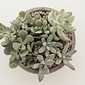 Succulent Plant From The Top by Kim Hojnacki