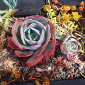 Succulent Plants. Multi-colored by Sofia Metal Queen