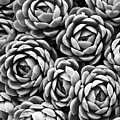 Succulents In Black And White by Marion McCristall