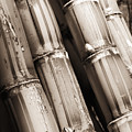 Sugar Cane - Sepia by Dana Edmunds - Printscapes