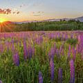 Sugar Hill New Hampshire Lupine by Bill Wakeley