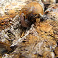 Sugarloaf Snail by Joshua Bales
