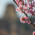 Sugarloaf With Winona Misato Cherry Blossoms by Kari Yearous