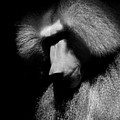 Sulking Baboon by Brian M Lumley