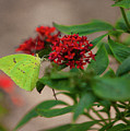 Sulphur Butterfly On Red Flower by Spencer Studios