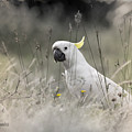 Sulphur Crested Cockatoo by Chris Armytage