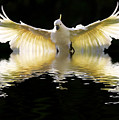 Sulphur Crested Cockatoo Rising by Avalon Fine Art Photography