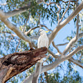 Sulphur-crested Cockatoo by Rodney Appleby