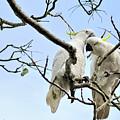 Sulphur Crested Cockatoos by Kaye Menner