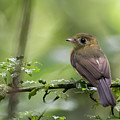 Sulphur-rumped Flycatcher by Mike Timmons