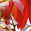 Sumac Closeup On White Pine Trail In Kent County, Michigan by Ruth Hager