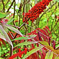 Sumac On White Pine Trail In Kent County, Michigan  by Ruth Hager