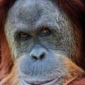 Sumatra Orangutan Portrait by Jerry Fornarotto