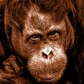 Sumatran Orangutan Female by The Griffin Passant Streetworks