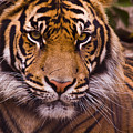 Sumatran Tiger by Chad Davis