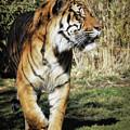 Sumatran Tiger  by Elaine Malott
