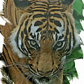 Sumatran Tiger by Larry Linton