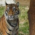 Sumatran Tiger by Matthew Kramer