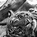 Sumatran Tiger by Pamela Williams