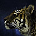 Sumatran Tiger Profile by Sheila Smart Fine Art Photography