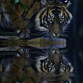 Sumatran Tiger Reflection by Avalon Fine Art Photography