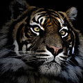 Sumatran Tiger by Avalon Fine Art Photography