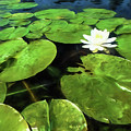 Summer Bloom by Lori Dobbs