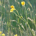 Summer Buttercups by Susan Baker